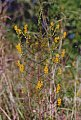 Odontites luteus (L.) Clairv.