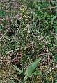 Platanthera chlorantha (Custer) Reichenb.