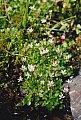 Saxifraga cuneifolia L.