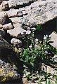Myosotis alpestris F.W. Schmidt