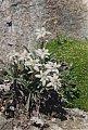 Leontopodium alpinum Cass.