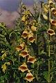 Digitalis grandiflora Miller