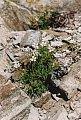 Gypsophila repens L.