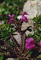 Pedicularis kerneri Dalla Torre