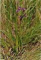 Orchis laxiflora Lam. subsp. palustris (Jacq.) Bonnier & Layens