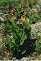 Cypripedium calceolus L.