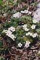 Androsace villosa L.
