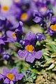 Linaria alpina (L.) Miller