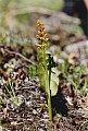 Botrychium lunaria (L.) Swartz