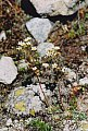 Saxifraga paniculata Miller