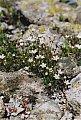 Minuartia laricifolia (L.) Schinz & Thell.