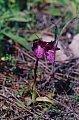 Orchis papilionacea L.