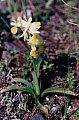 Orchis provincialis Balbis ex DC. subsp. pauciflora (Ten.) Arcangeli