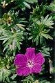 Geranium sanguineum L.