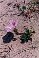 Calystegia soldanella (L.) Roemer & Schultes