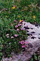 Silene acaulis (L.) Jacq. subsp. longiscapa Vierh.