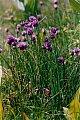Allium schoenoprasum L.
