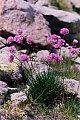 Armeria alpina Willd.