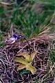 Pinguicula vulgaris L.