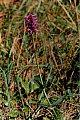 Stachys officinalis (L.) Trévisan
