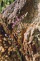 Limonium vulgare Miller